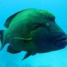 Napoleonfisch am Shaab Sataya